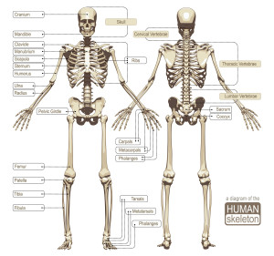 a-diagram-of-the-human-skeleton-main-parts-of-the-skeletal-system